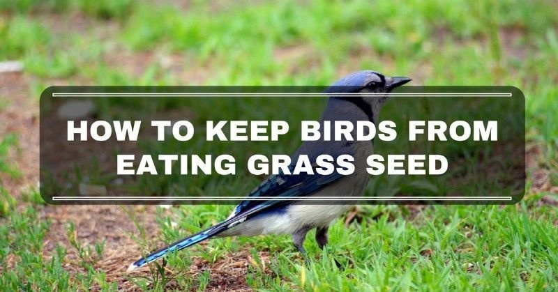 how to keep birds from eating grass seed-1