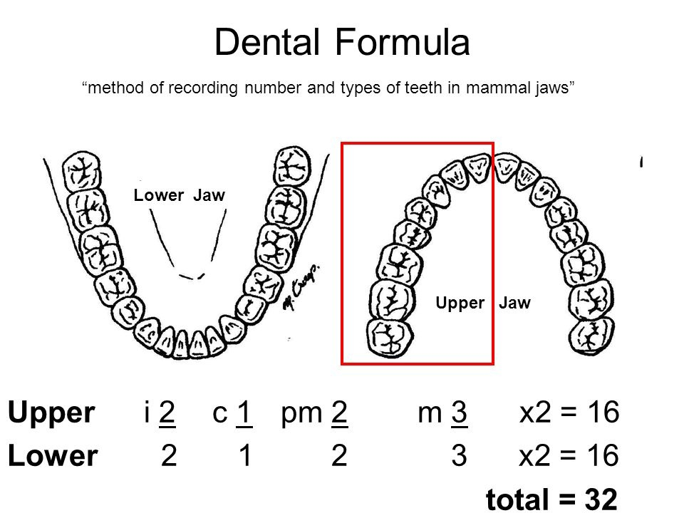 the dental formula for an adult is 2-1-2-3. what does the 1 stand for?-2