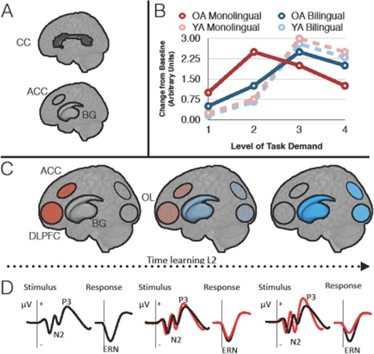 the gray matter in the _____ lobe is denser in people who are bilingual.-1