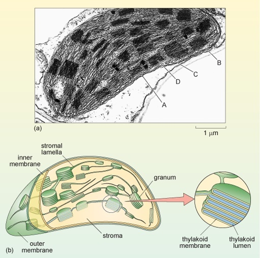 what is the best microscope to get a detailed view of the parts inside of a preserved plant cell?-2