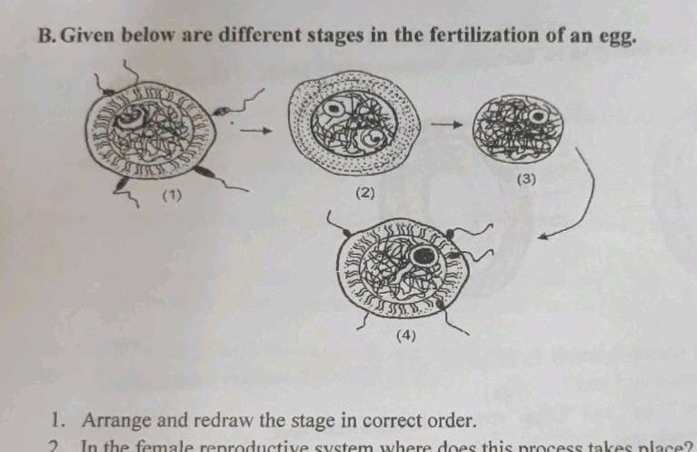what is the correct sequence of events that follow fertilization of an egg?-1