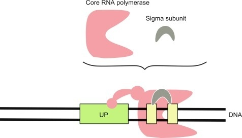 what is the function of the sigma subunit of rna polymerase in bacterial transcription?-1