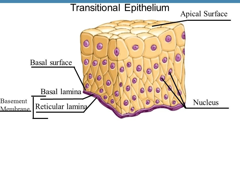 what is the value of transitional epithelium in the urinary system?-2